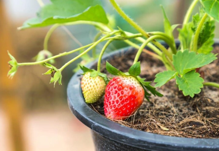 Benefits Of Growing Strawberries In Pots From Seeds